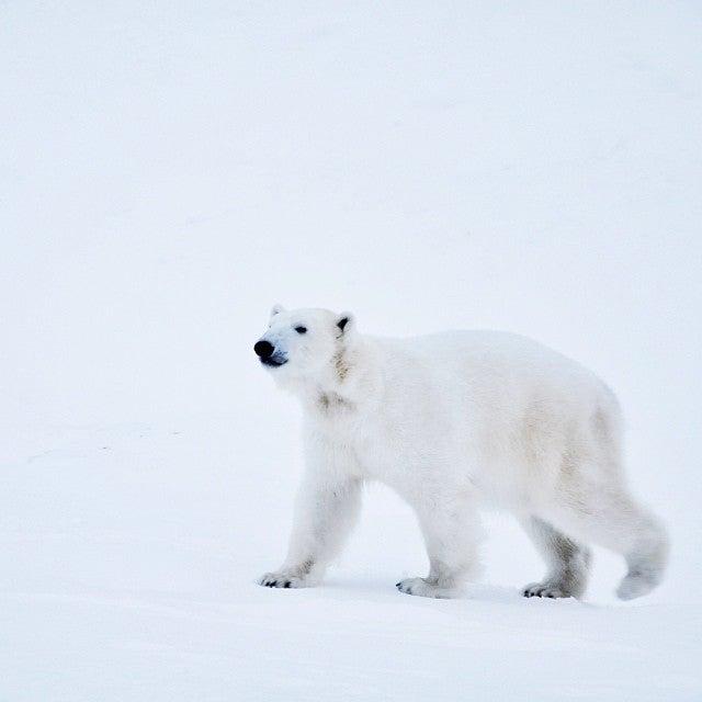 orso bianco Ranua Lapponia