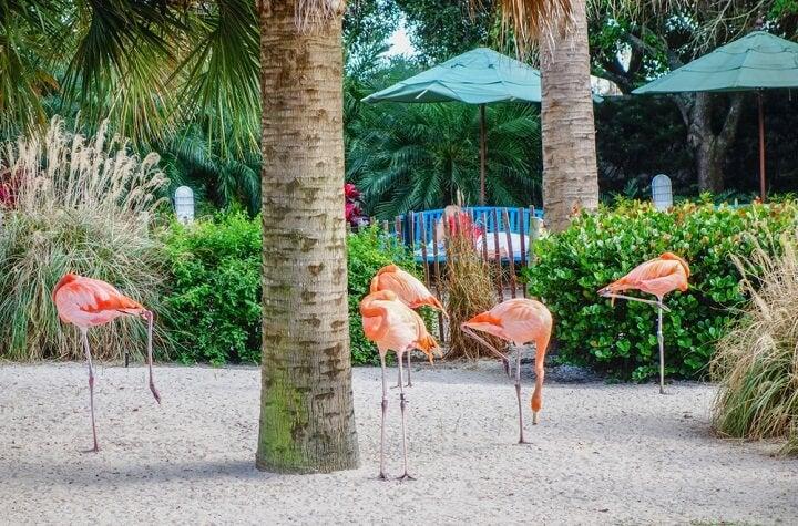 flamingos em bahamas