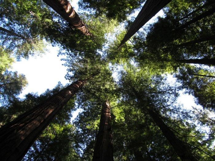 redwoods_Doug-Kerr