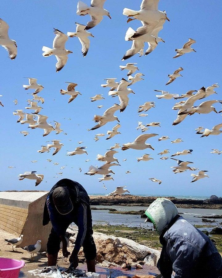 Voos rasantes das gaivotas aos pescadores no porto de pesca de Essaouira